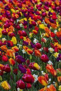 Mount Vernon, Washington State, Wind blows a field of multi-colored tulips by Jolly Sienda