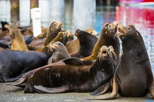 Newport, Oregon. Port of Newport, Large sea lions express themselves on the dock by Jolly Sienda