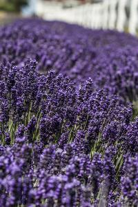 Port Angeles, Washington State. Field of lavender and a white fence by Jolly Sienda