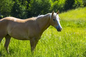 Port Angeles, Washington State. Palomino horse enjoys the sunshine in a green pasture by Jolly Sienda