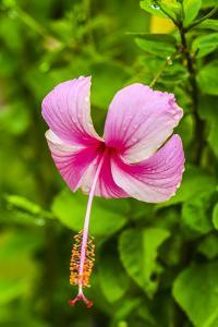 Ranthambore, Rajasthan, India, Hibiscus flower dips over its green foliage by Jolly Sienda