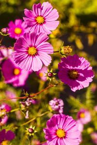 Santa Fe, New Mexico. Group of Pink Coreopsis Flowers by Jolly Sienda