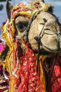 Udaipur, Rajasthan, India. India decorated Camel, Diwali Festival of Lights by Jolly Sienda