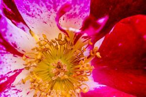 Vienna, Virginia, Yellow, magenta, red, and white petals of a wild rose by Jolly Sienda