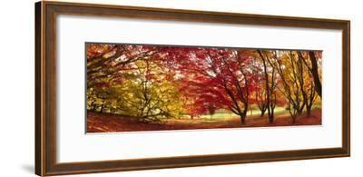 Autumn Foliage of Japanese Maple (Acer) Tree, England, Uk