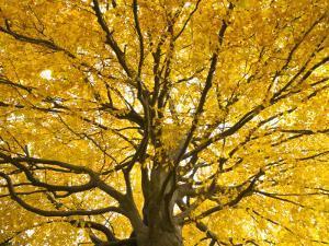 Beech Tree in Autumn, Surrey, England by Jon Arnold