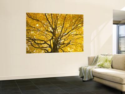 Beech Tree in Autumn, Surrey, England