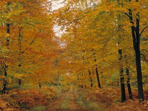 Beech Trees in Autumn, Surrey, England by Jon Arnold