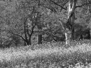 Bluebells in Woods, Springtime by Jon Arnold