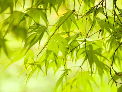 Japanese Maple (Acer) Tree in Springtime, England, UK