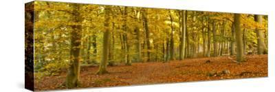 Woods in Autumn Time, Surrey, England, Uk