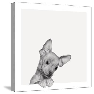 Sweet Chihuahua