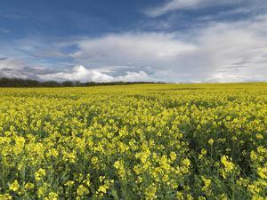 A Beautiful Spring View Showing a Rape Field Near Morston, Norfolk, England by Jon Gibbs