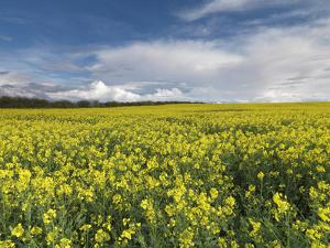 A Beautiful Spring View Showing a Rape Field Near Morston, Norfolk, England by Jon Gibbs