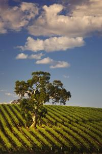 Eucalyptus Tree amongst Grape Vines in the Barossa Valley by Jon Hicks