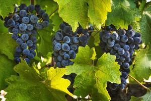 Grapes Growing in Napa Valley by Jon Hicks