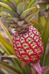Pineapple Growing on the Dole Pineapple Plantation by Jon Hicks