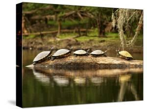 Florida, High Springs, a Group of Suwannee Cooters Share a Log on a Quiet Stretch of the Santa Fe by Jon M. Fletcher