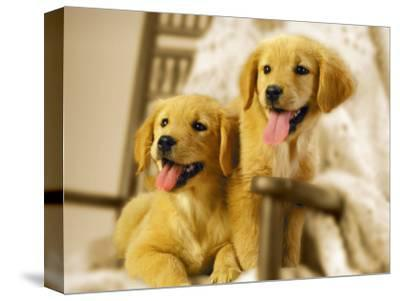 Two Golden Retriever Puppies Sitting in Chair