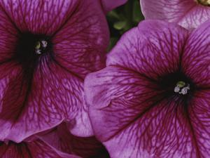 A Close View of a New Variety of Pink Petunias by Jonathan Blair