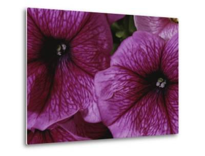 A Close View of a New Variety of Pink Petunias