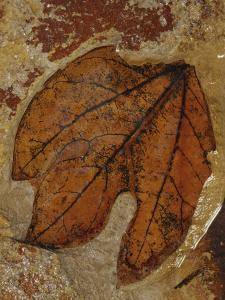 A Fossilized Sassafras Leaf by Jonathan Blair