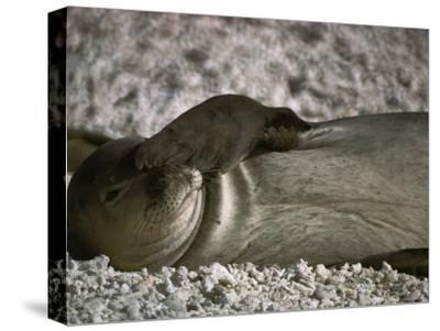 A Monk Seal Scratches its Face with its Flipper