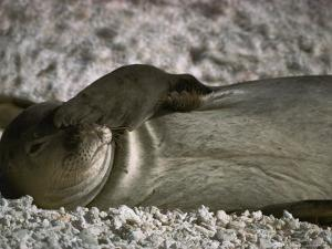 A Monk Seal Scratches its Face with its Flipper by Jonathan Blair