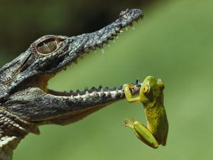 A Year-Old Nile Crocodile Snaps at a Frog, a Favorite Meal by Jonathan Blair