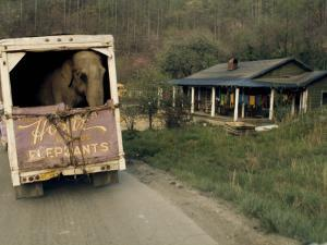 An Elephant Rides to the Next Show in the Back of a Circus Truck by Jonathan Blair