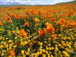 California Poppies and Goldfields Dance in the Wind After a Rainfall by Jonathan Blair