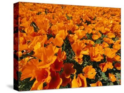California Poppies in Field