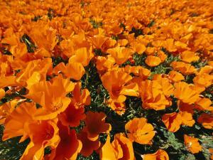 California Poppies in Field by Jonathan Blair