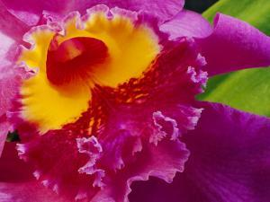 Close View of a Bright Pink Cattleya Orchid by Jonathan Blair