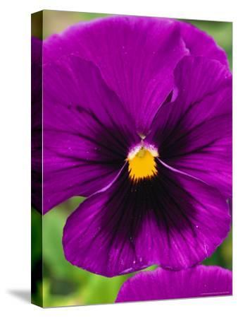 Close View of Purple Picotee Pansies, a New Variety of Pansy