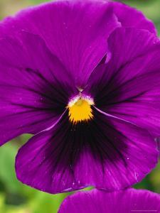 Close View of Purple Picotee Pansies, a New Variety of Pansy by Jonathan Blair