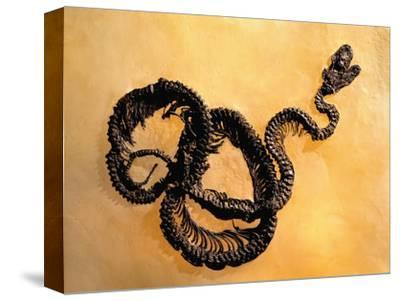Complete Fossil of Large Snake