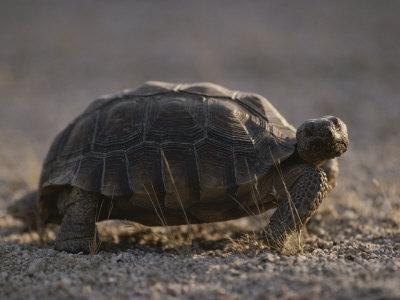 Desert Tortoise (Gopherus Agassizi) Stores Water Beneath its Shell