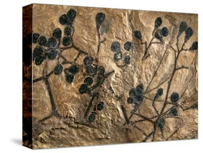 Fossil of Basswood Stems and Berries