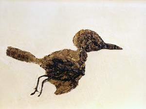 Fossil of Small Bird from Messel Site by Jonathan Blair