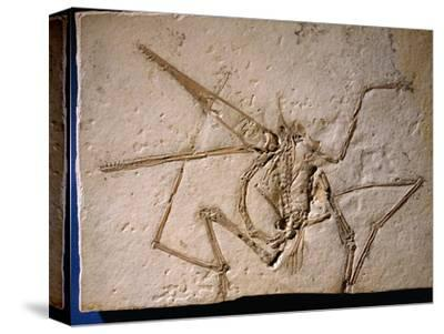 Fossilized Pterodactyl