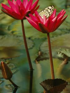 Giant Wood Nymph Lands on a Nymphaea 'Red Cup' Water-Lily by Jonathan Blair