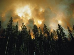 Lodgepole Pines against a Background of Fire by Jonathan Blair