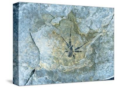 Male Spider Fossil from Messel Site