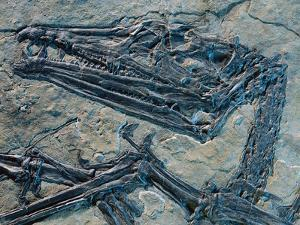 Oldest Pterosaur Fossil by Jonathan Blair