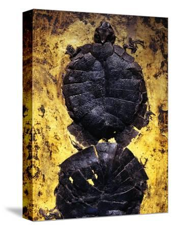 Pair of Freshwater Turtle Fossils