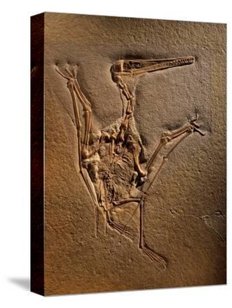 Pterodactylus Kochi Fossil