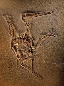 Pterodactylus Kochi Fossil by Jonathan Blair