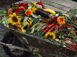Sunflowers, Dahlias, Eggplants, Pepper and Squash Fill a Wheelbarrow by Jonathan Blair