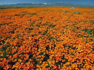 Waves of California Poppies Reach Towards Snow-Covered Mountains